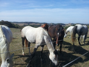 Bazian horses